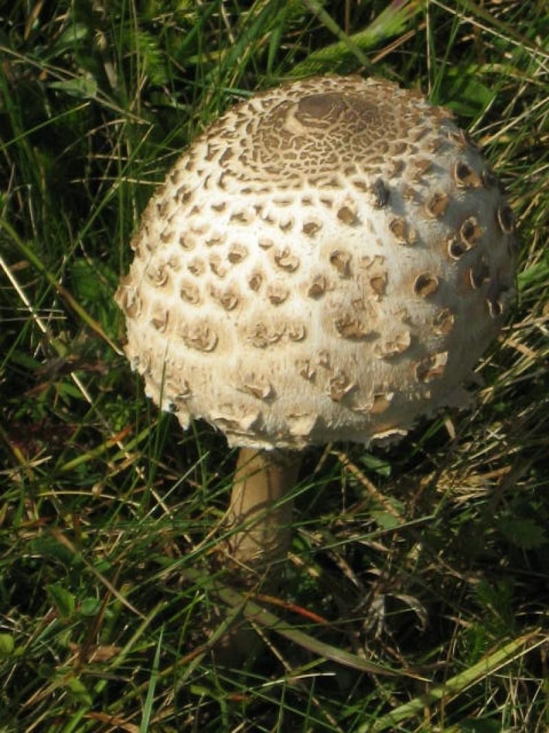 Ciuperci comestibile piciorul caprioarei – Modalitati de a slabi