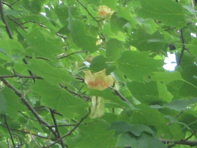 Arborele de Lalea, din Parcul Dendrologig Văleni, înfloreşte la jumătatea lunii iunie.